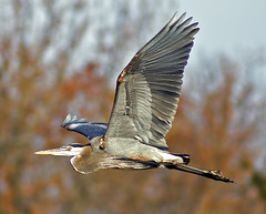 Graceful Flight (pheαnix) Tags: bird minolta g sony ngc flight apo 300mm tc delaware blueheron f4 hs bif 14x a700 avianexcellence beckspond natureselegantshots mygearandme mygearandmepremium mygearandmebronze mygearandmesilver mygearandmegold flickrsportal eltringexcellence