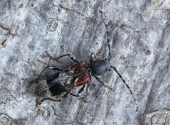 Rufous-shouldered Longhorn Beetle (Anaglyptus mysticus). (od0man) Tags: uk macro insect geotagged beetle wiltshire coleoptera longhornbeetle cerambycidae anaglyptusmysticus macrolife ef100mmf28lisusmmacro rufousshoulderedlonghornbeetle geo:lat=5131838541223423 geo:lon=2167655333053631