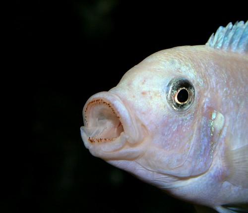 Metriaclima callainos Magunga Reef