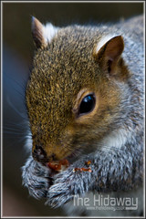 Nut nibbler - Explore #190  08/12/11 (Simon Bone Photography) Tags: park nature woodland grey woods squirrel eating nuts chewing nut nibbler countrypark chomping tehidy wwwthehidawaycouk canoneos7d canonef24105mmlf4