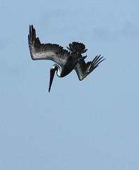 Pelican dive ( 1of 4) please view all 4 shots.... (terry.1953) Tags: sea bird fishing niceshot diving pelican bvi virginislands britishvirginislands blinkagain flickrstruereflection1