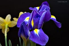 Iris Heart #1