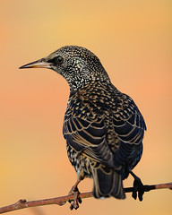 Starling tail and back (Rivertay07 - thanks for o