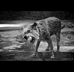 six-foot radius of drenching awesomeness (elmofoto) Tags: california family summer bw dog pet wet water pool swimming fur fun puddle 50mm golden droplets drops nikon fav50 outdoor abby fav20 retriever terrier soak shake splash nikkor tennisball fav30 emerging cascade pf 500v wheaten d300 familypet 1000v fav10 drench fav100 fav200 25f 50f fav40 fav60 fav90 fav80 fav70 flickraward thechallengegame challengegamewinner borderfx afsnikkor50mmf14g nikkor50mm14g flickraward5 ssfmlm flickrawardgallery elmofoto elmofoto lorenzomontezemolo forcurators tidder