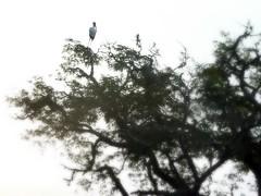 Stork on a tree (Dunnock_D) Tags: srilanka animal yallanationalpark nationalpark park stork paintedstork tree top vegetation foliage cloud cloudy sky standing