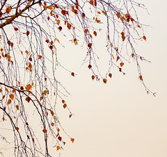 leaves won't leave (mari-we) Tags: autumn plant leaves flora laub herbst pflanze foliage birch bltter birke