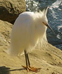 Snowy Egret in La Jolla (cjbphotos1) Tags: california bird birds sandiego cove wildlife lajolla egret snowyegret egrets thecove