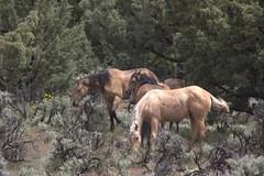 Horses (suzysday) Tags: horses oregon steensmountains