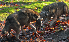 europese wolf ouwehands IMG_0580 (j.a.kok) Tags: wolf ouwehands europeanwolf europesewolf ouwehandszoo zoonetherlands