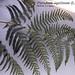 "Pteridium aquilinum (L.) Kuhn, Dennstaedaceae • <a style=""font-size:0.8em;"" href=""http://www.flickr.com/photos/62152544@N00/6596746741/"" target=""_blank"">View on Flickr</a>"