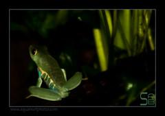 HOLagalychnis5926 (kactusficus) Tags: frog redeye rainette agalychnis forestrainforest calydrias