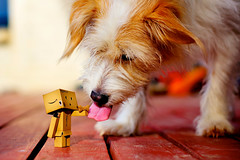 danbo meets my dog Walle! (flyryd) Tags: friends summer food dog man cute love animal tongue friend cross sweet box f14 sony small 14 sigma lick terrier fox bichon bone doggy apso nex danbo lapso nex5n laea2