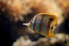 Copperband Butterflyfish (macropoulos) Tags: fish topf50 500v20f 500v50f animalia gettyimages butterflyfish chordata canoneos5d coralfish rostratus 1500v60f 1000v40f actinopterygii canonef100mmf28macrousm copperbandbutterflyfish chelmon chaetodontidae perciformes 50faves50comments500views beakcoralfish gettyimages:date_added=20120112