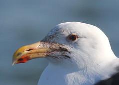 Great Black-backed Gull (Tombo Pixels) Tags: bird canon newjersey gull nj greatblackbackedgull twb1 barnegat111007