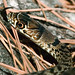 Young Eastern Coachwhip