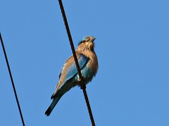 Indian Roller (sudheer_pandey) Tags: india birds canon bhopal indianroller coraciasbenghalensis sx130 vanvihar vanviharnationalpark canonpowershotsx130 vvnp
