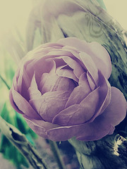 (SaraMsk) Tags: pink brown black flower green rose canon petals    macro