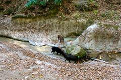 (Angie Antimatter) Tags: autumn trees dog tree dogs nature leaves creek louisiana hiking pitbull trail boxer doberman