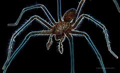 Glowing Spider (Sair Jane) Tags: colour male canon spider arachnid canon350d glowing colourful arachnophobia housespider tegenariadomestica