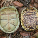 Three-toed Box Turtle and Ornate Box Turtle