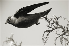 Take Off (Judy's Wildlife Garden) Tags: takeoff jackdaw judykennett knightonpowys