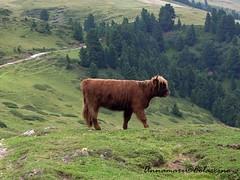Eh si...il pi bello della montagna sono io (Annamaria  Colaccino) Tags: montagna animale trentino naturalmente valdifassa animalimontagna annamariacolaccino alpitires