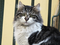 Murci (CyberMacs) Tags: nature animal cat turkey mammal trkiye kitty places istanbul trkorszg kedi constantinople