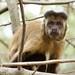 Macaco-prego_2012  28089