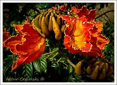 African Tulip Tree Flowers (Artvet) Tags: