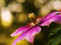 Purple Clematis (j man ) Tags: life birthday lighting morning pink friends light man flower macro art nature floral colors beautiful field closeup contrast lens happy photography j petals illinois cool colorful flickr dof purple blossom bokeh background sony details group clematis favorites vivid views 60mm tamron depth comments a300 mygearandme