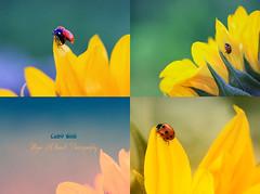 ..! New day .. (mzna al.khaled) Tags: flowers light flower macro green colors beautiful yellow canon focus dof sunflower saudi arabia natrue 105mm  50d  macrolife mzna