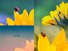 بدايات جديدة..! New day .. (mzna al.khaled) Tags: flowers light flower macro green colors beautiful yellow canon focus dof sunflower saudi arabia natrue 105mm طبيعة 50d ماكرو macrolife mzna