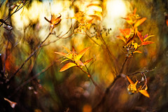 Winter Shimmers (moaan) Tags: life leica winter sun sunlight digital dead 50mm dof bokeh dr january wither summicron utata alive withered deadflower 2012 m9 f20 stillalive explored inlife leicam9 leicasummicronf20dr