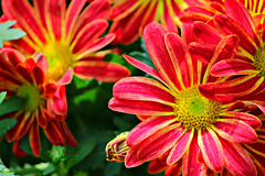 Hot Flower. (    , ) Tags: flowers red orange flower rose yellow canon ross d qatar   t3i   qtr   600d      ameera      q6r       amoora          blinkagain