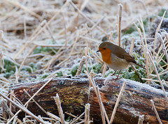 Robin on a log (Geographyman) Tags: winter bird nature robin frost wildlife rspb strumpshawfen canon5dmkii canon70300mml