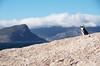 Penguin Overlooks Cape Town (Lauren Barkume) Tags: ocean africa blue sea vacation sky mountains rock clouds southafrica penguin coast december ct capetown westerncape 2011 laurenbarkume gettyimagesmeandafrica1
