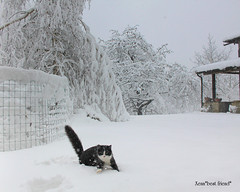 Woww, it's wonderful to play in the snow!!! (Xena*best friend*) Tags: wood winter wild italy pet cats pets snow cold ice animals fur frozen chats furry woods feline tiger freezing kitty kittens whiskers piemonte gato calico purr paws gatto katzen pussycat markings feral wildanimals ©allrightsreserved alleycatallies piedmontitaly canonef70300mm catsinsnow canoneos500d zivadavid eosrebelt1i catsplayinginthesnow