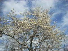 tree flowering dogwood