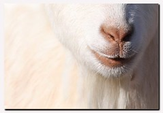 These Lips could be yours LOL ... (A.J.Pendleton-Lightbox 2008 (On and Off)) Tags: nature animal closeup canon farm goat lips upclose supershot canon40d blinkagain