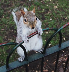 These bars will never hold me! (don.carey.All my photos have FULL Copyright on the) Tags: park winter london grey squirrel royal stjamess