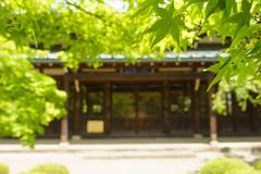 20160422 Gotokuji 2 (BONGURI) Tags: tree green leaves tokyo leaf maple sony jp mapleleaf      setagaya mapleleaves           gotokuji  setagayacity rx100m3