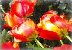 Tulips (Stella VM) Tags: flowers red garden spring tulips