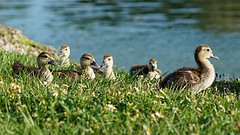 (luis_julien) Tags: blue white lake green nature grass yellow duck day babies duckling cropped sonya7rii