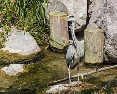 Grey Heron (rogerbo69) Tags: heron wildlife natur vgel byrd reiher