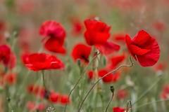 macchie di rosso (mat56.) Tags: flowers red nature grass bokeh milano lawn natura campagna erba poppies fiori antonio rosso prato lombardia papaveri pianura padana sancolombanoallambro mat56 romei