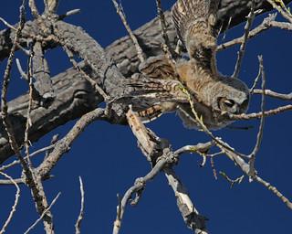 Great Horned Owl 0788