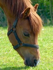 P1010139 (jamiebecky17) Tags: pony silloth chesnut bankmill