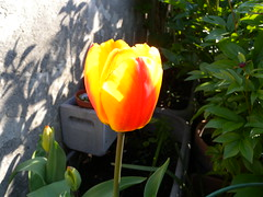 20160505_Terrasse_01 (weisserstier) Tags: plant spring pflanze terrasse tulip tulipa frhling tulpe