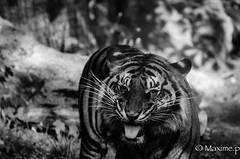 Tiger (max pincet) Tags: zoo nikon flickr tamron tigre francais fauve captivité d7000