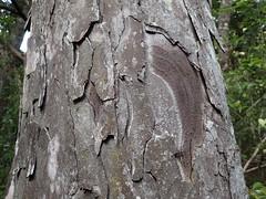 Dacrydium cupressinum bark (dracophylla) Tags: newzealand rimu podocarpaceae dacrydiumcupressinum codfishisland whenauhoa